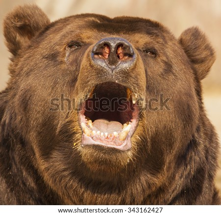Eared bear - stock photo