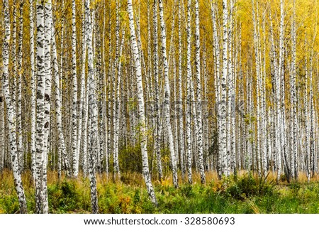 Early autumn birch grove with yellow leaves - stock photo