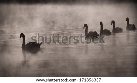Early fall morning at the pond. Mother swan and the next generation strolling down the pond. - stock photo