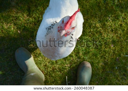 Early March evening - Scotland, UK.  Light Sussex chicken looking up and waiting expectantly to be fed - personal perspective - stock photo