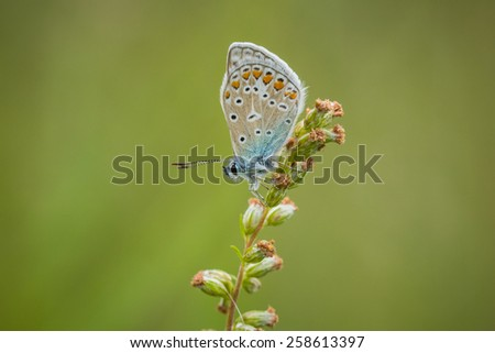Early morning Common Blue butterfly sleeping in a meadow - stock photo