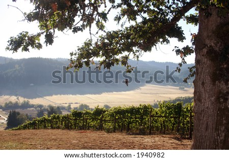 Early morning fog in a vineyard - stock photo