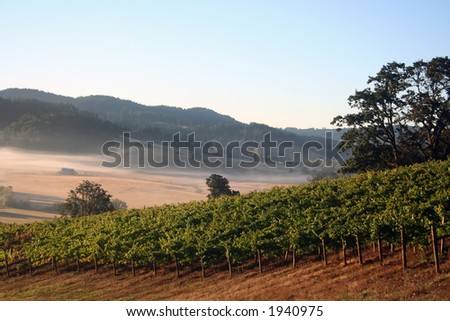 Early morning fog in a vineyard and hills - stock photo