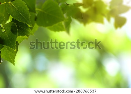 Early morning in the birch forest - stock photo