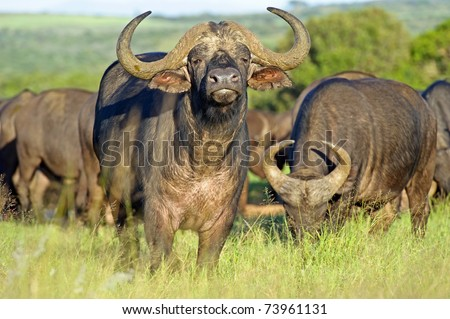 Early morning light on a herd of buffalo - stock photo