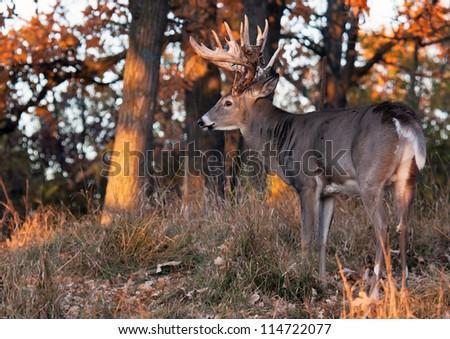 Early morning light on a trophy whitetail deer.  Antlers shedding velvet, yet some remnants of velvet remain.  Autumn in Wisconsin - stock photo