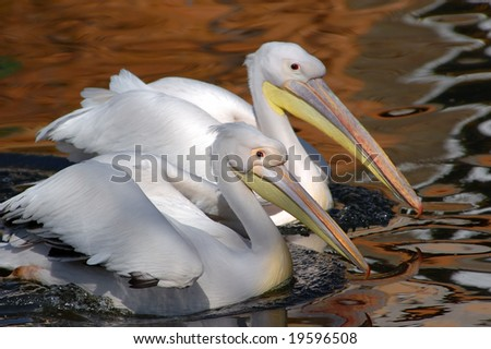 Early morning, pair white pelicans in a spawning dress float on lake - stock photo