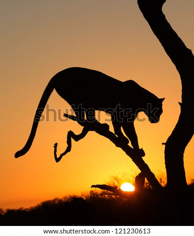 Early morning silhouette of Leopard in tree at sunrise - stock photo
