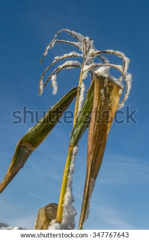 Early Snowfall on Lone Cornstalk Against Blue Sky - stock photo