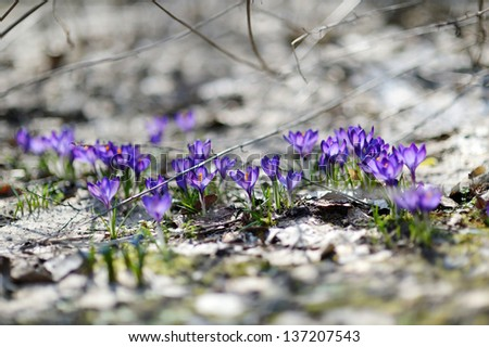Early spring crocus flowers in blossom - stock photo