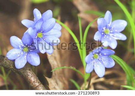 Early spring flowers blue hepatica or snowdrop in it's natural background growing on a forest floor. Natural rural spring image - stock photo