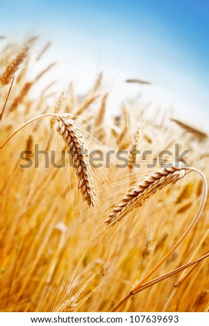 Ears of golden wheat on the background of wheat field - stock photo