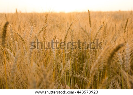 Ears of golden wheat on the field close up. Beautiful Nature Sunset Landscape. Rural Scenery under Shining Sunlight. Rich harvest Concept - stock photo