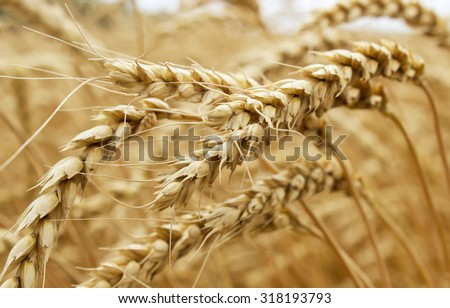 Ears of ripe wheat growing in a wheat field - stock photo