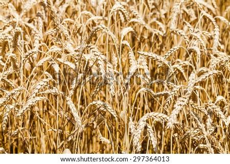ears of ripe wheat in field in summer day - stock photo