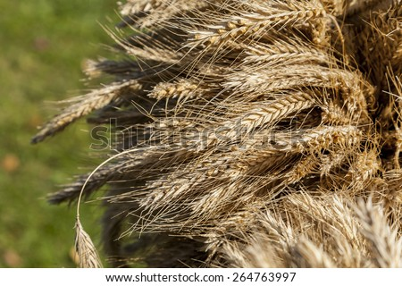 Ears of rye harvested in autumn, autumn harvest ripe. - stock photo