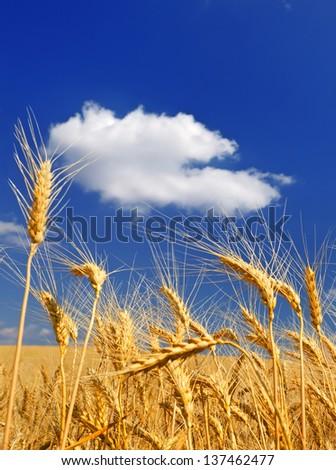 Ears of wheat against a dark blue sky - stock photo