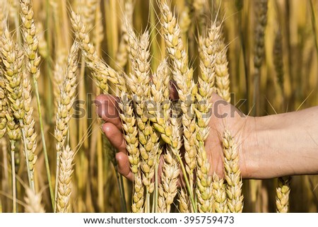 ears of wheat in hand on the background of a wheat field - stock photo