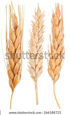 Ears of wheat. Macro - stock photo