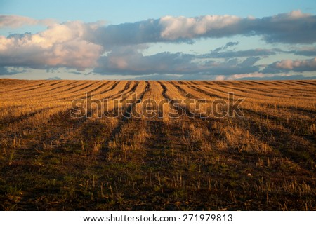 Ears of wheat waving in the evening wind. - stock photo
