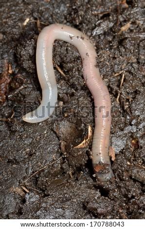 earthworm vertical - stock photo