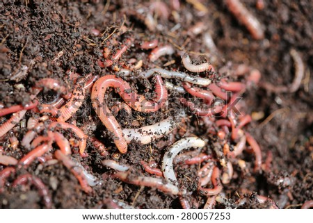 Earthworms (Dendrobena Veneta) for Fishing or Compost - stock photo