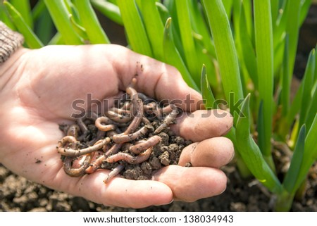 Earthworms group in hand close up. Agriculture or fishing concept. - stock photo