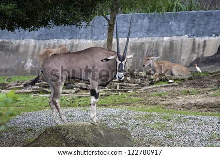 East African Oryx display in Taipei city zoo in summer,Oryx beisa - stock photo