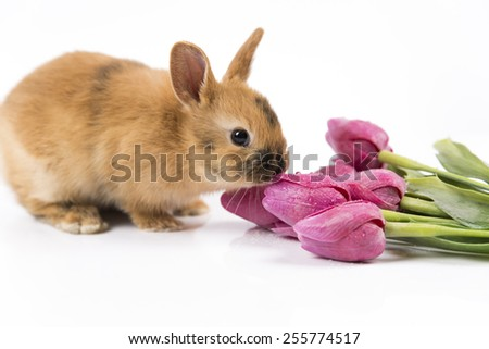 Easter bunny and fresh tulip on white background isolated - stock photo