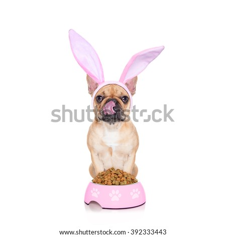 easter bunny ears french bulldog dog , hungry and licking with tongue ,behind food bowl , isolated on white background - stock photo