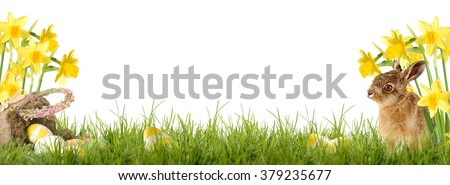 Easter bunny sitting in front of Daffodil with an Easter basket and Easter eggs - stock photo
