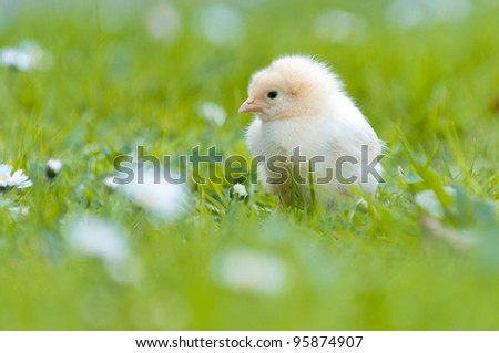Easter chick in the garden with daisies - stock photo