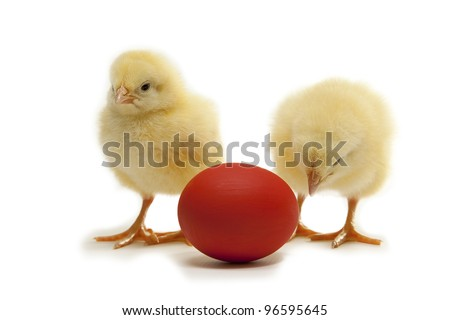 easter chicken with red eggon white background - stock photo