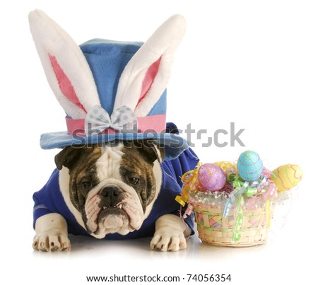 easter dog - english bulldog dressed up for easter on white background - stock photo