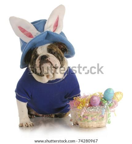 easter dog - english bulldog dressed up for easter on white background - stock photo