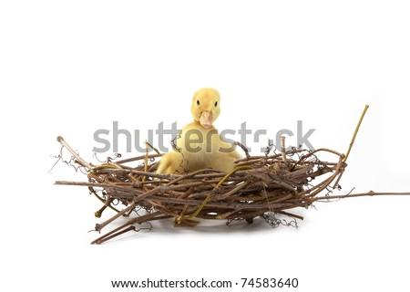 Easter little duck looking cute, sitting in a nest from branches on a white background, Spring Image. - stock photo
