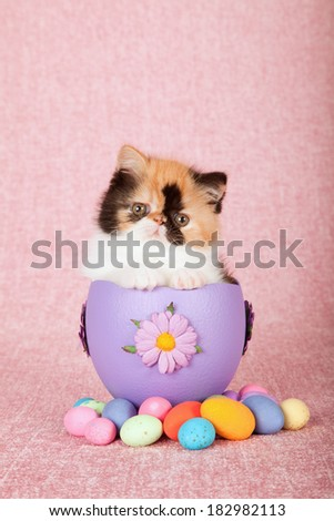 Easter theme Exotic kitten sitting inside large Easter egg with small easter eggs on pink background - stock photo