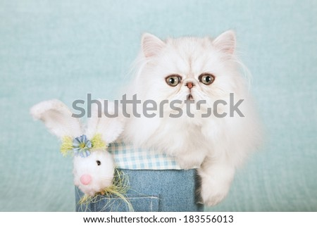Easter theme Silver Chinchilla kitten in denim tube container with fluffy Easter bunny on light blue green background  - stock photo