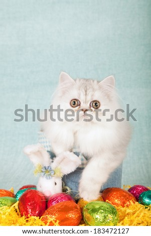Easter theme Silver Chinchilla kitten sitting inside denim tube container with fluffy Easter bunny and colorful Easter eggs on light blue green background  - stock photo