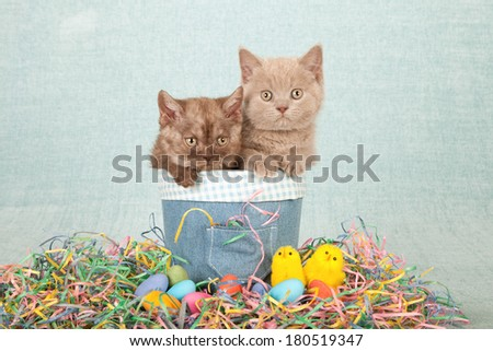 Easter themed kittens sitting inside denim tube with fluffy chicks and easter eggs on light green blue background - stock photo