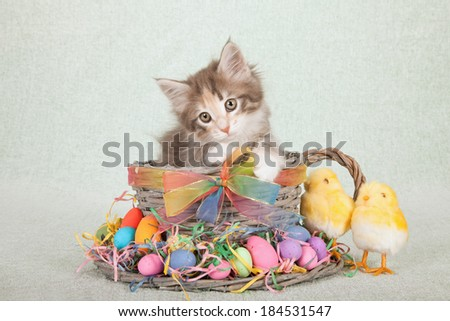 Easter themed Norwegian Forest Cat kitten sitting inside large woven cup and saucer with Easter eggs, fluffy Easter chicks and colorful ribbon and bow on light green background  - stock photo