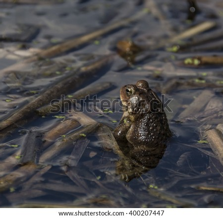 Eastern American Toad/An Eastern American Toad (Anaxyrus Americanus) sitting high in the water atop some submerged reeds. - stock photo
