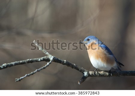 Eastern Bluebird 2 - stock photo