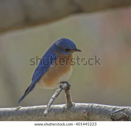Eastern Bluebird/A male Eastern Bluebird perched on a branch, with its head cocked. - stock photo