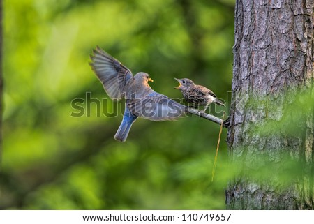 Eastern Bluebird fledgling perched on branch demanding food from parent. - stock photo