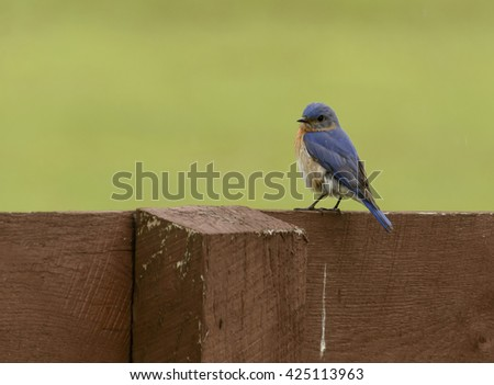 Eastern Bluebird Male/A male Eastern Bluebird (Sialia sialis) sitting on a fence along a pasture in York County Pennsylvania, USA..  - stock photo