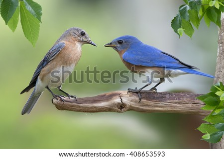 Eastern Bluebird Male and Female on Branch - stock photo