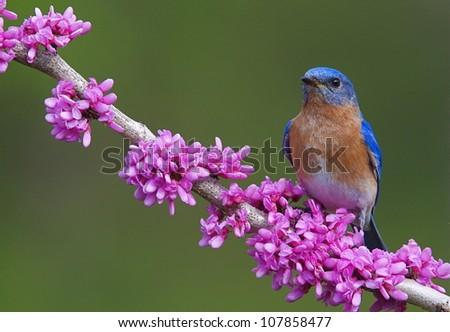 Eastern Bluebird on Flowering Eastern Redbud Branch, horizontal format - stock photo