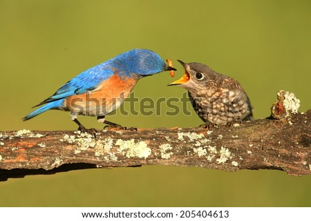 Eastern Bluebird (Sialia sialis) feeding a baby on a branch with a green background - stock photo