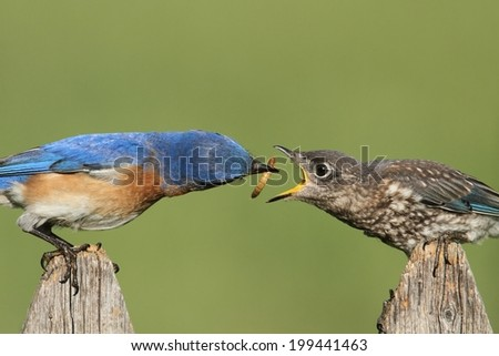 Eastern Bluebird (Sialia sialis) feeding a baby on a fence with a green background - stock photo